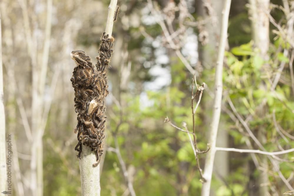 2013.05.30 - Tent Caterpillars (41 of 70)
