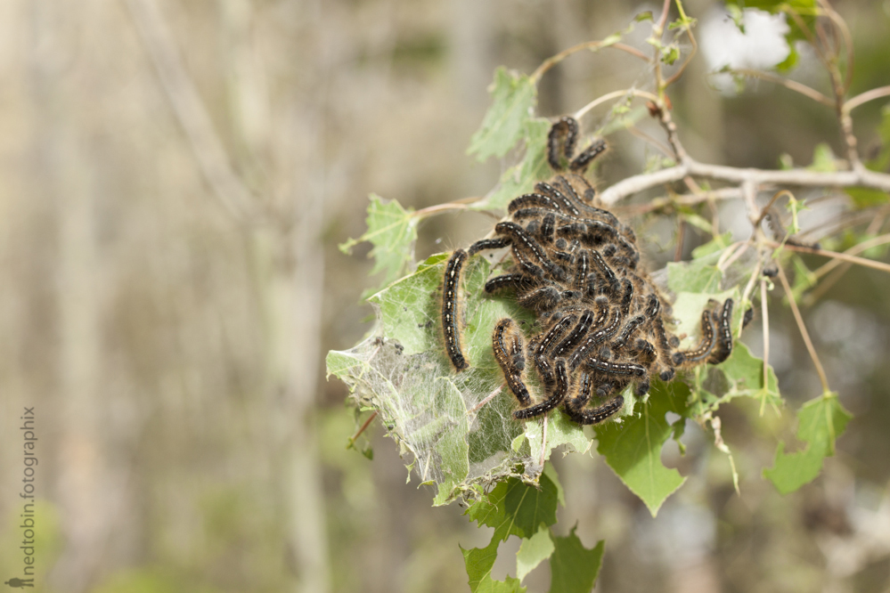2013.05.30 - Tent Caterpillars (43 of 70)