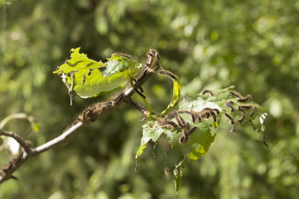 2013.05.30 - Tent Caterpillars (7 of 70)