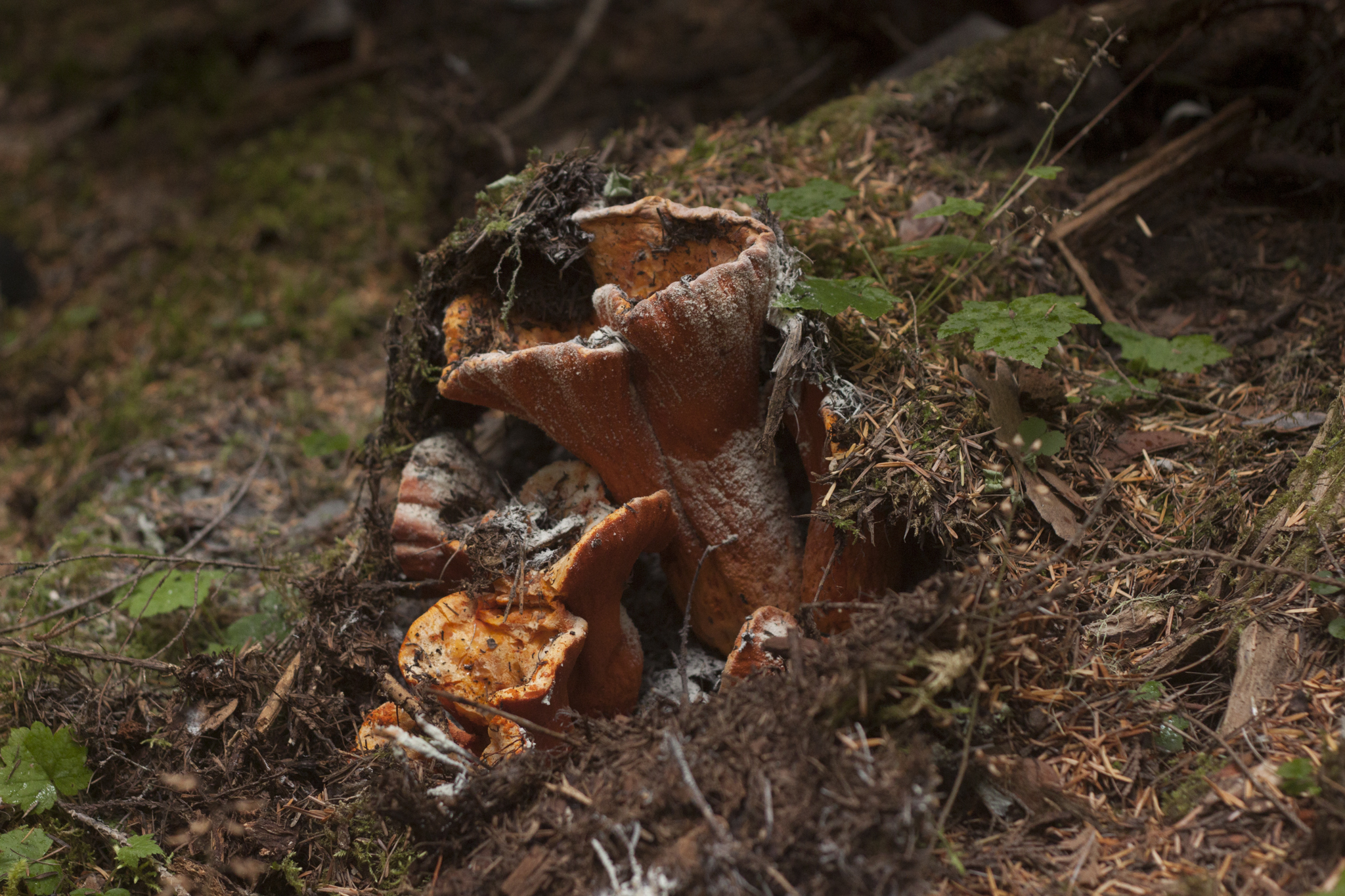 Lobster Mushroom | Hypomyces lactifluorum