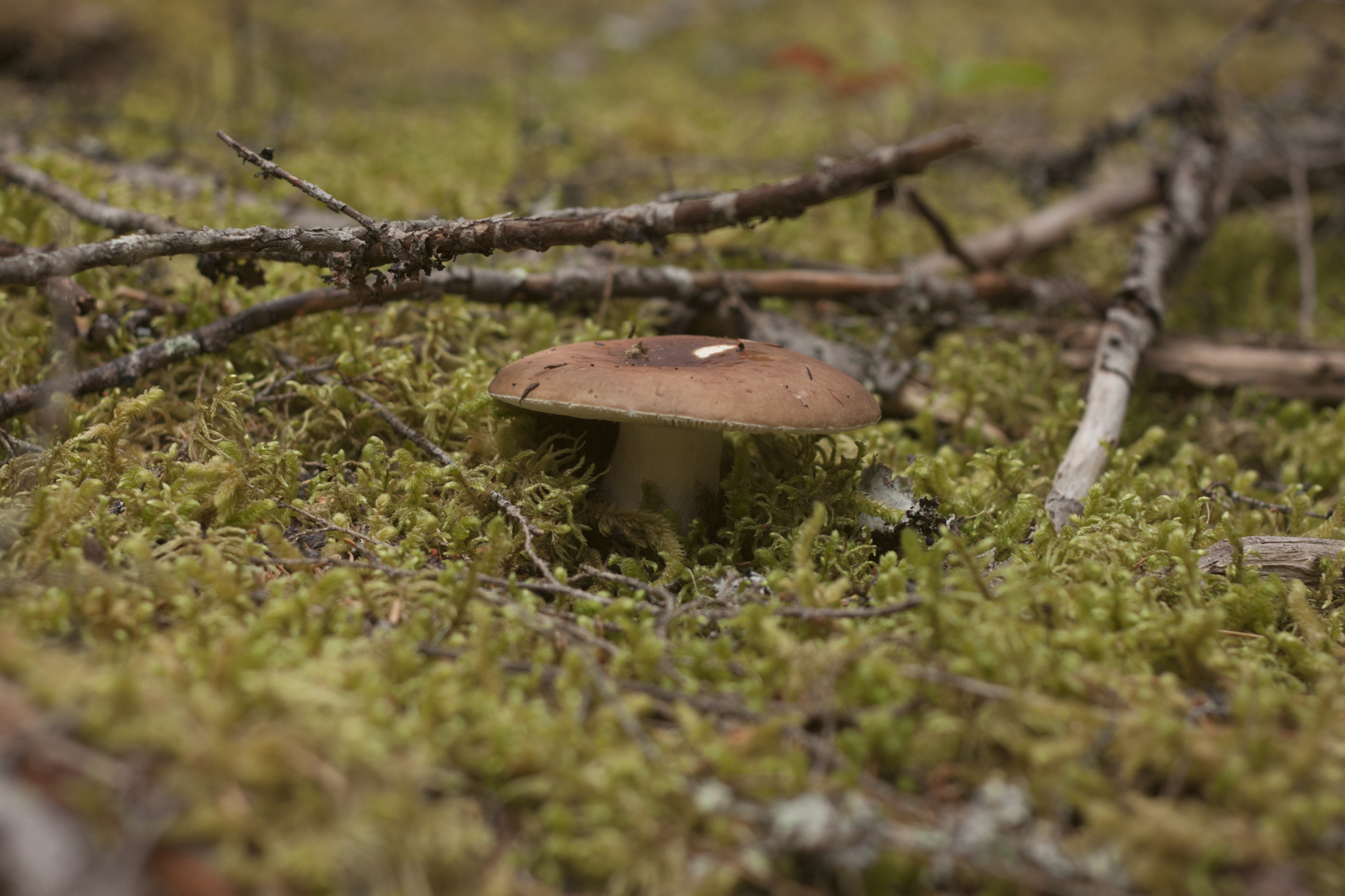 Russula - Brown Violet