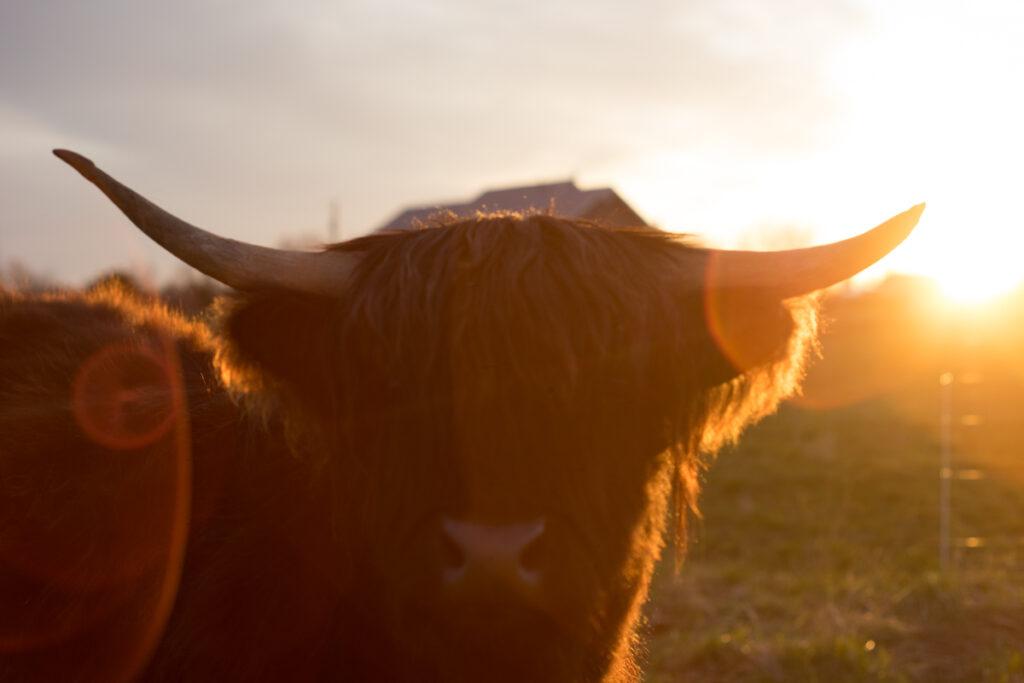 Shawna a Highland heifer