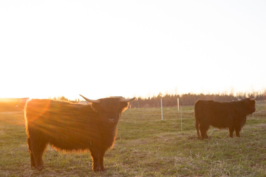 Lucinda our Highland heifer