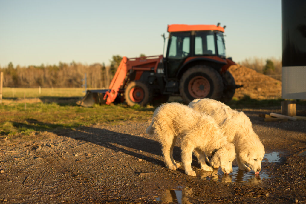Rosie and Pogo our Great Pyrenees dogs drinking from a puddle