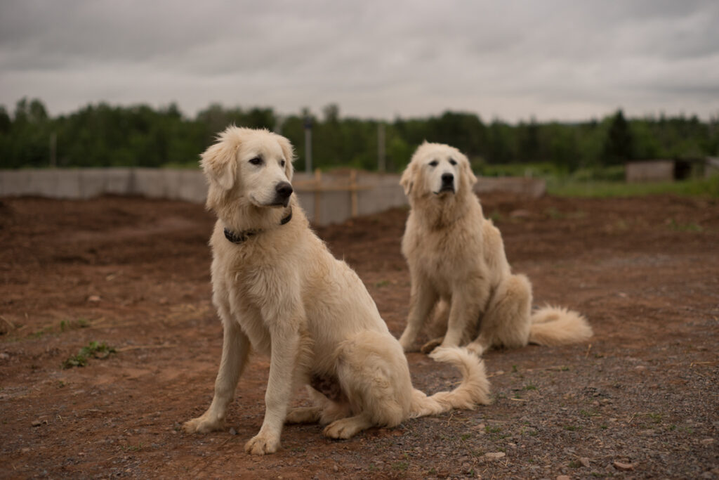 The young Rosie and Pogo our Great Pyrenees