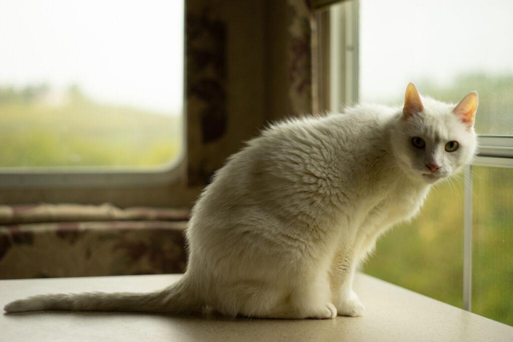 white cat named Bernie