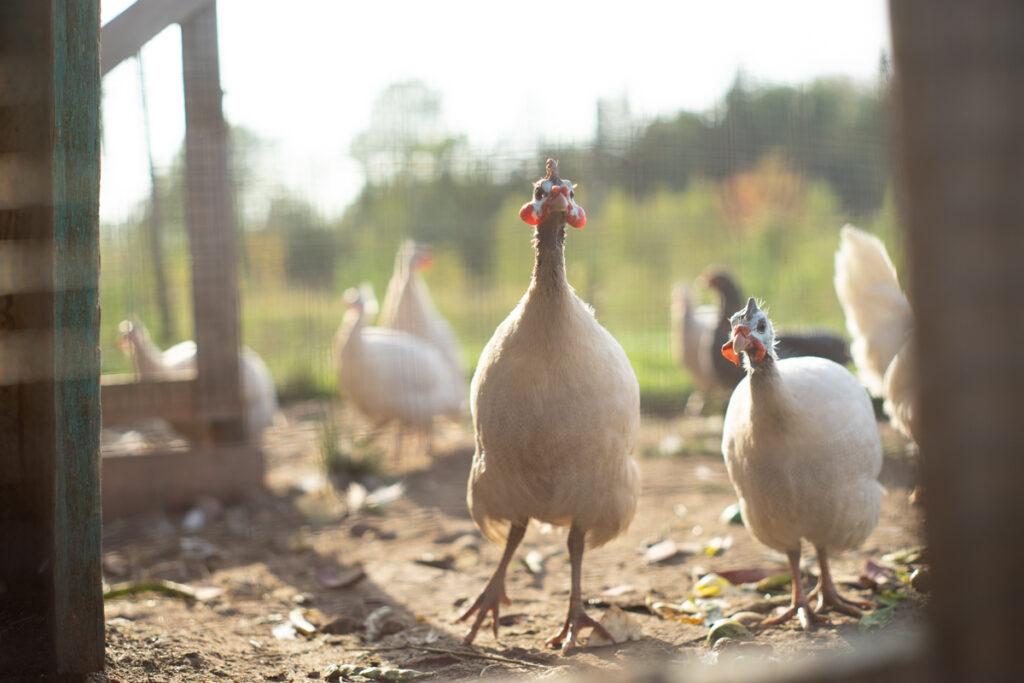 curious guinea fowl