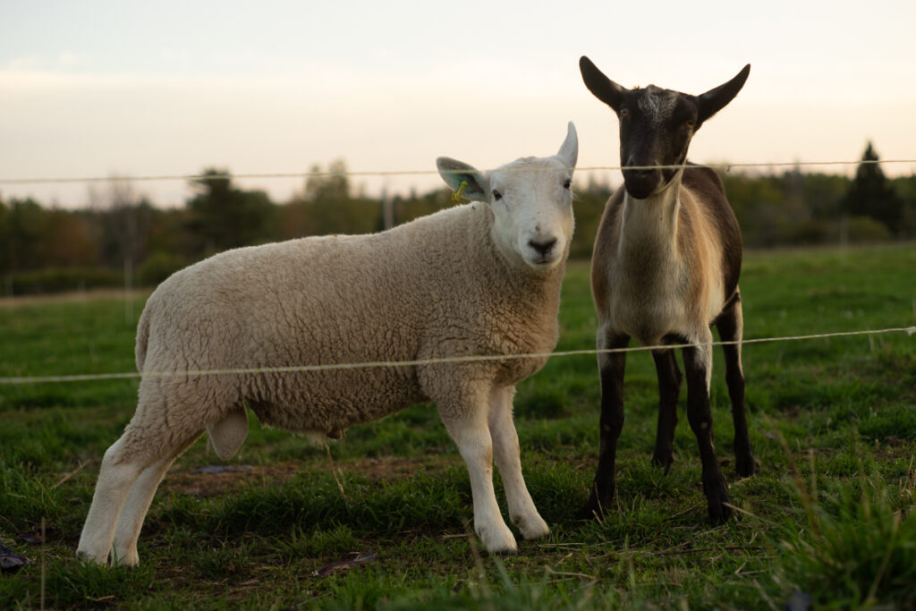 Howie the North Country Cheviot ram and Coola the Alpine goat