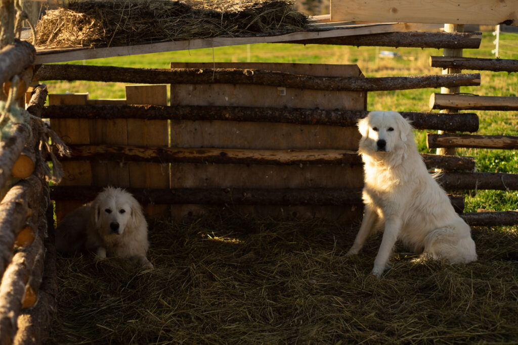 Rosie and Pogo, both Great Pyrenees dogs