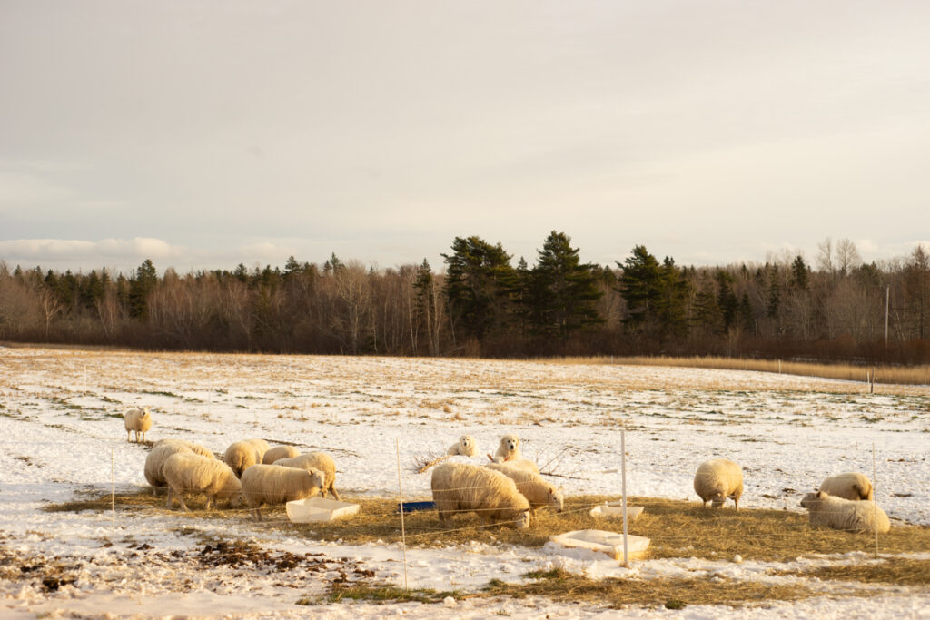 North Country Cheviot ewes in the snow