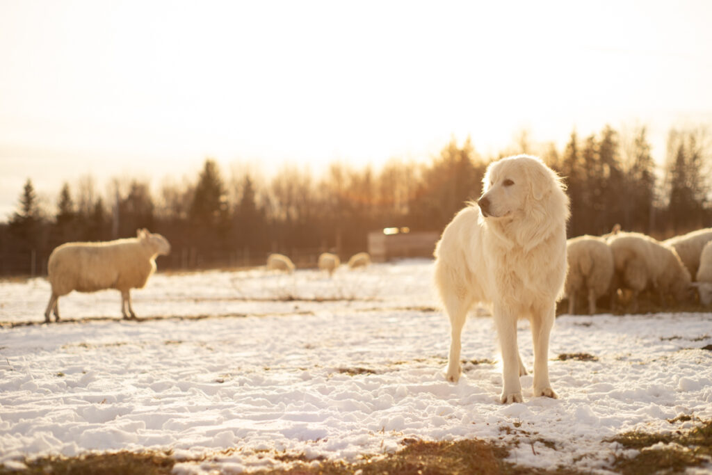 Pogo a Great Pyrenees dog with the North Country Cheviots