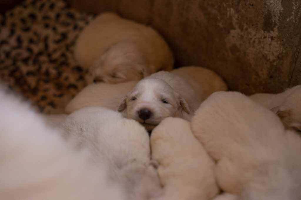 adorable puddle of great pyrenees puppies