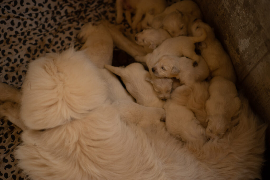 a puddle of great pyrenees puppies