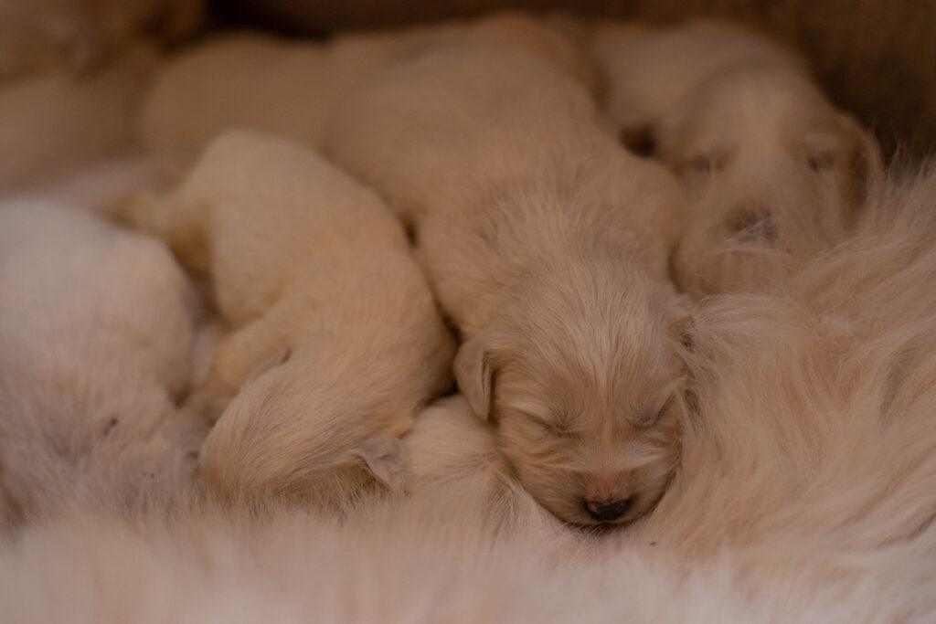 sleeping great pyrenees puppies