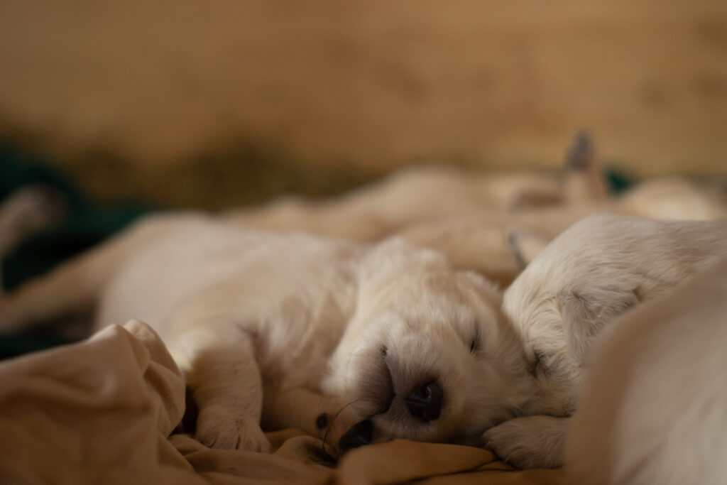 two sleeping great pyrenees puppies