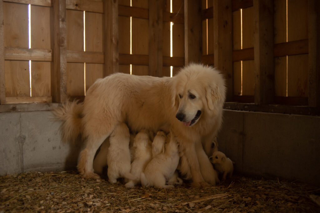 Rosie feeding great pyrenees puppies while standing up