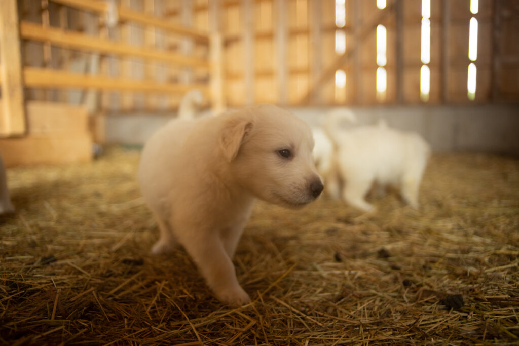 curious great pyrenees puppy