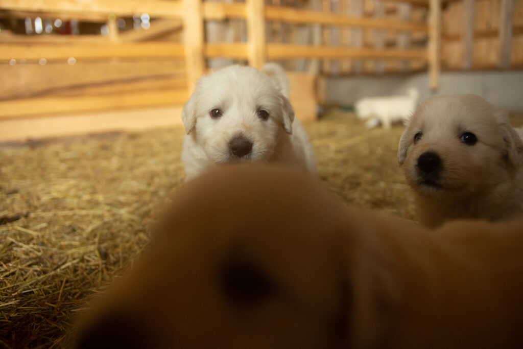 two curious great pyrenees puppies