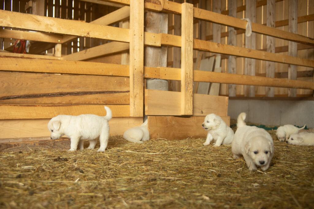 roaming great pyrenees puppies
