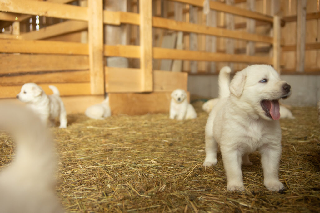 yawning great pyrenees puppies