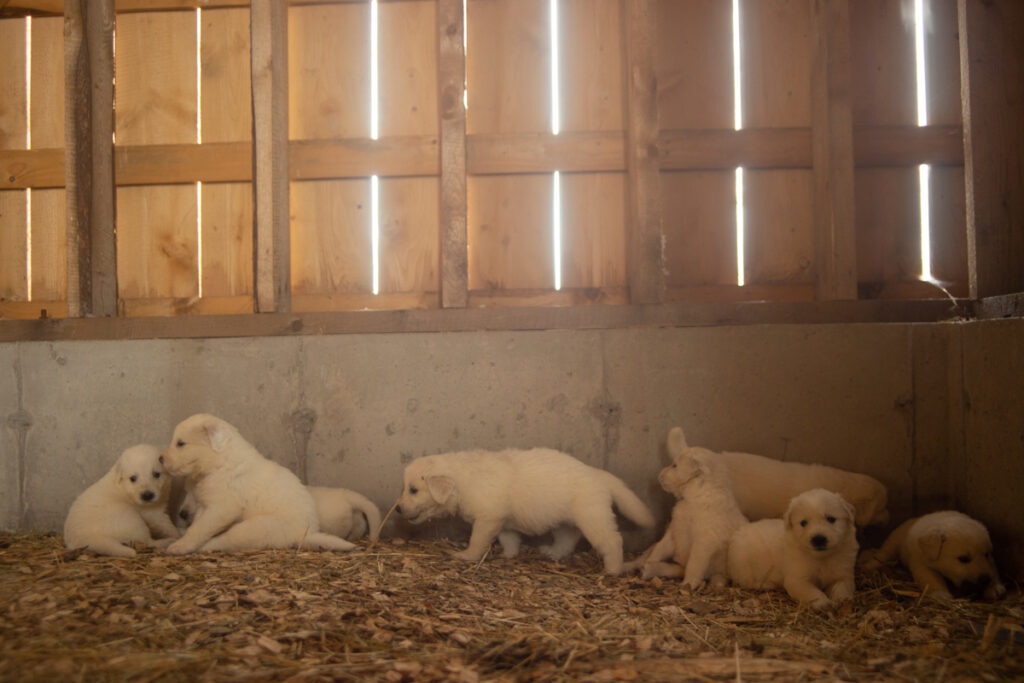 a wall of great pyrenees puppies
