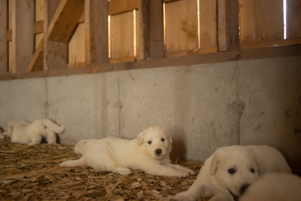 satisfied great pyrenees puppy